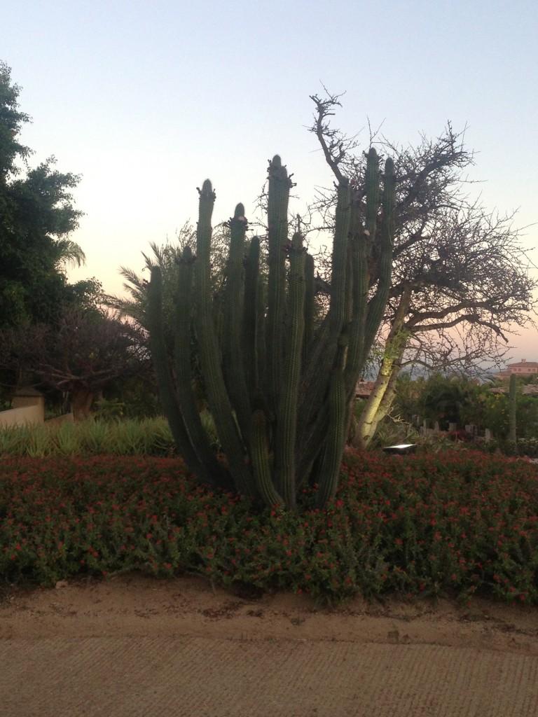 Cabo San Lucas cacti