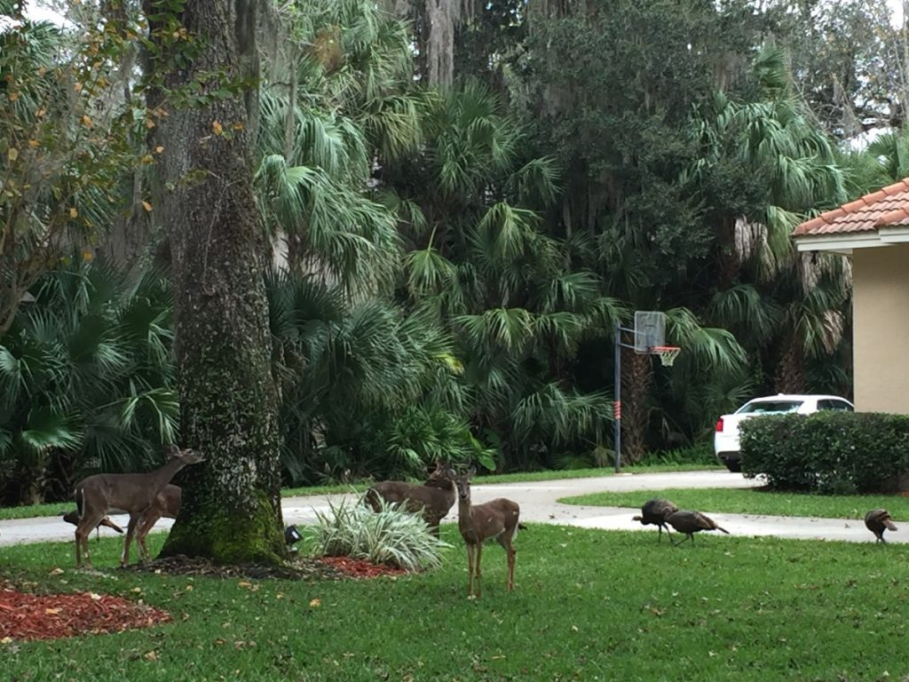 I never know what I will see when visiting my Lake Mary clients. This day was good- turkey and deer!