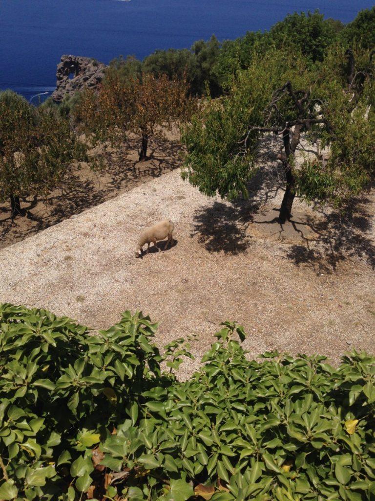 The sheep enjoy prime Mallorcan real estate.