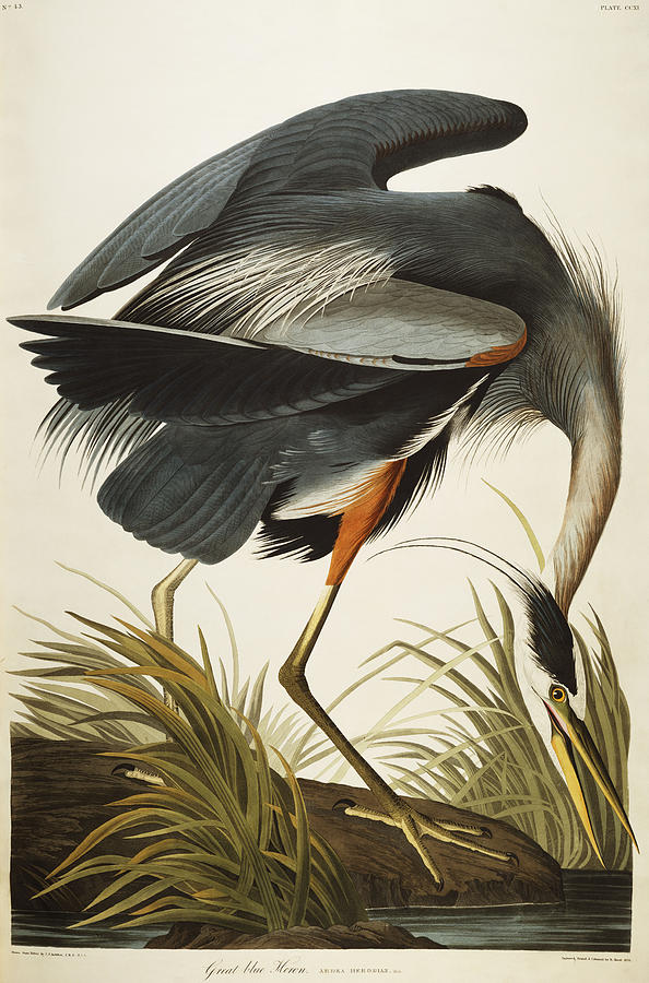 John James Audubon, Great Blue Heron. (Photo: fineartamerica.com)