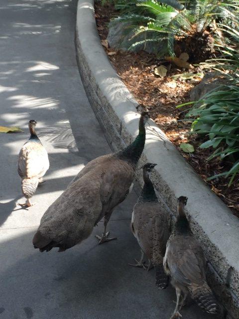 A peacock family strolls along the walkways.