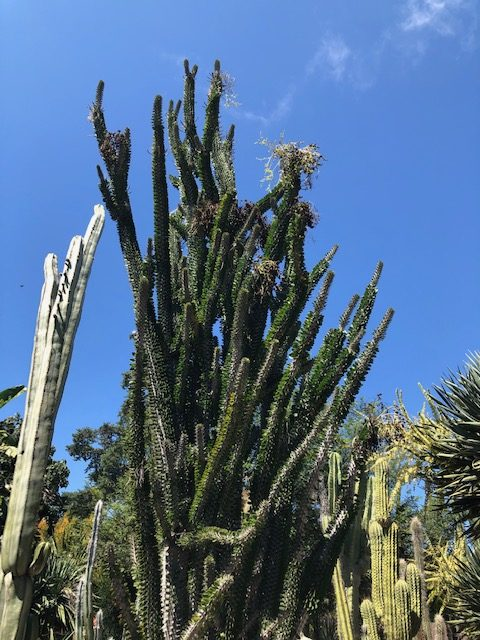 Madagascar Ocotillo is one of my favorites.