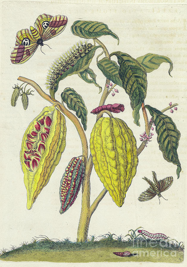 Suriname insects by Maria Sibylla Merian. (Photo: Historic Illustrations)